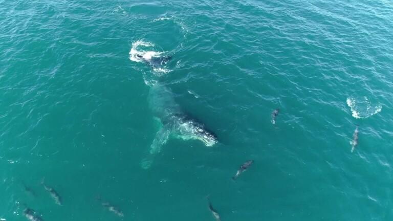 Golfinhos na orla de Copacabana