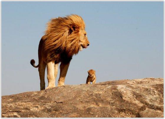 ულამაზესი სურათი! ლომი და ბოკვერი